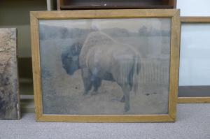 Original framing of the Archives' bison images