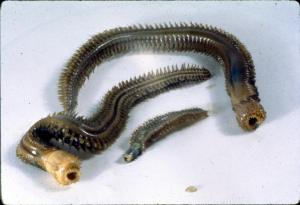 Nephtyidae polychaetes
