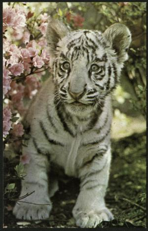 Postcard of White Tiger Cub, c. December 1970, Published by Friends of the National Zoo. Photograph