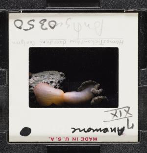 Anemone Homostichanthus duerdeni Carlgren, 1959
