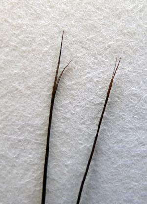 Split ends, November 1, 2013, by Andrea Hall, Accession 12-320 - Edward William Nelson Field Notes,