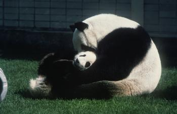 Giant Panda mother with cub.