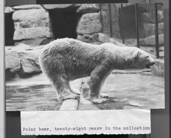 Polar Bear at the National Zoo, Record Unit 95, Smithsonian Institution Archives, neg. no, 2002-1061