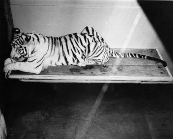 Mohini Rewa, National Zoo's White Tiger, c. 1973. Record Unit 371, Smithsonian Institution Archives,