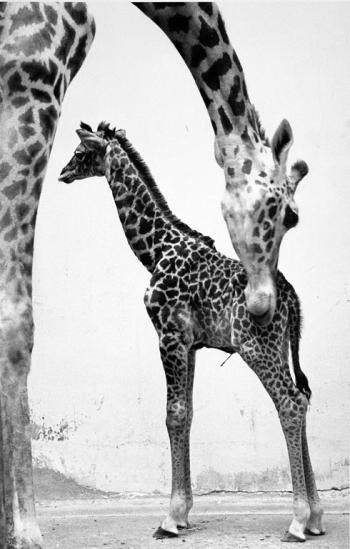 Baby giraffe, Ryma, and mother, Peggy, at the National Zoo, by Jessie Cohen, 1985, Record Unit 371,
