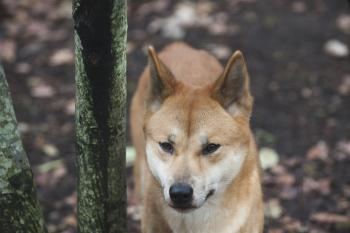It is still possible to see live dingoes not far from Washington D.C. today. This dingo resides in P