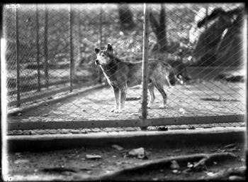 Dingo in enclosure at the National Zoological Park, 1900s.