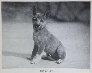 Dingo pup, 1930