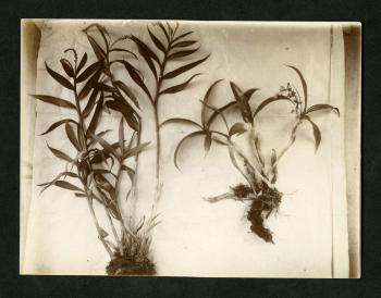 Black and white photograph of small plant specimens.