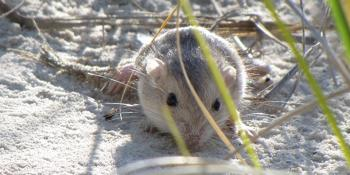 A mouse is laying in sand dunes.