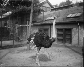 Ostrich at the National Zoo, c. 1900, Record Unit 95, Smithsonian Institution Archives, neg. no. MAH
