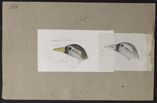 Two sketches of a bird's head attached to a beige paper. The larger sketch is in color and the small