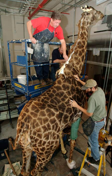 Taxidermists prepare a giraffe for installation at the National Museum of Natural History.