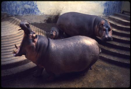 Nile Hippopotamuses and Baby at National Zoological Park