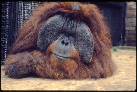Adult Male Orangutan, Archie, at the National Zoological Park
