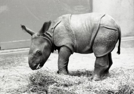 """Baby Rhino, """"Patrick"""""""