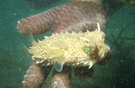 Porcupinefish at Smithsonian Tropical Research Institute