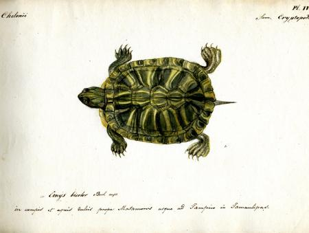 Berlandier Tortoise (Emys bicolor), Record Unit 7052 - Jean Louis Berlandier Papers, Box 12, Folder