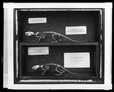 "Effects of milk on rodent skeletons from ""Public Health"" exhibition in the United States National Mu"