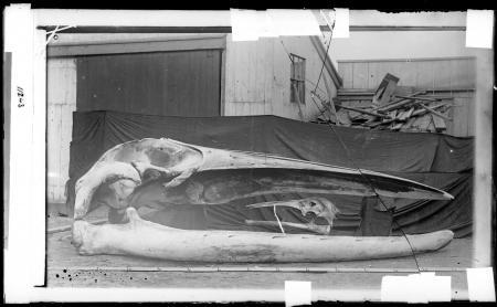 Whale Skulls