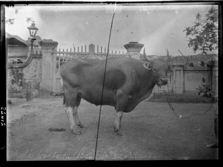 Bos banteng (cattle)