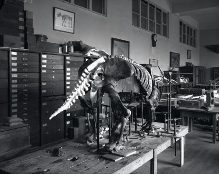 Mount of ground sloth skeleton in the Division of Vertebrate Paleontology lab during preparation for