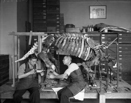 Preparation of Giant Sloth Skeleton