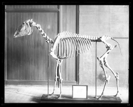 "Skeleton of Old Henry Clay, ""Father of American Trotting Horses"""