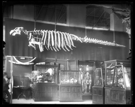 Comparative Anatomy Exhibit in Osteological Hall at the United States National Museum