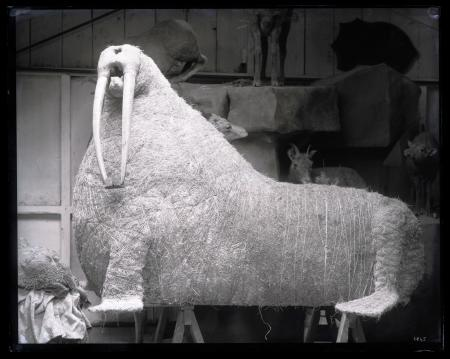 Walrus Mount During Taxidermy Process