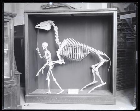 Black and white photograph of skeletons of man and horse.
