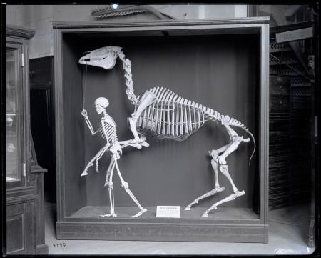 Exhibit case featuring skeletons of 'Man and Horse' in Comparative Anatomy Hall at the United States