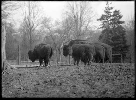 Group of American Bison