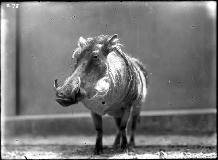 Warthog at National Zoological Park