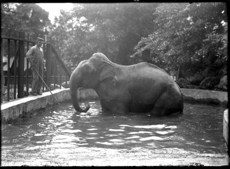 "Indian Elephant ""Dunk"""