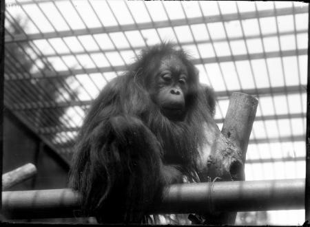 Juvenile Orangutan at the National Zoological Park
