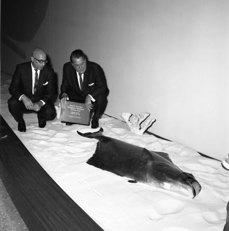 Senator Warren Magnuson Presents a Pacific Halibut to Smithsonian