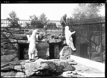 Polar Bears and Keeper at NZP