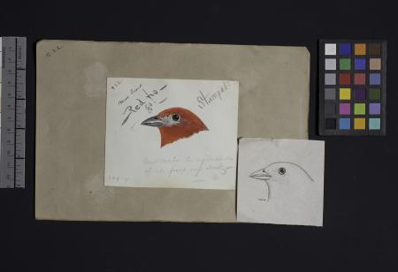 Robert Ridgway Bird Head Drawing #222: This drawing or engravings of bird heads was used in Spencer