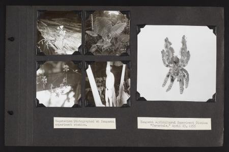 Photograph album page, black paper with five black and white photographs of plants and a spider spec