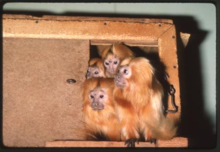 Golden lion tamarin group at National Zoological Park, November 1983, by Jessie Cohen.