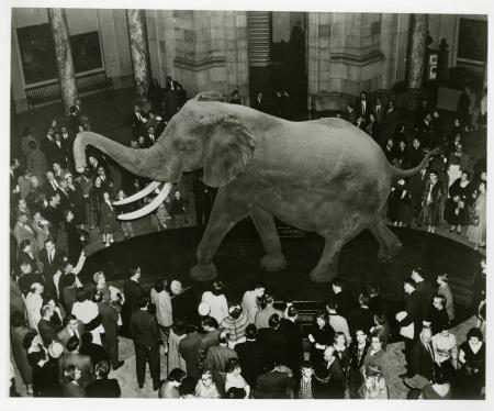 Unveiling of Fénykövi Elephant at the National Museum of Natural History, March 6, 1959, SIA