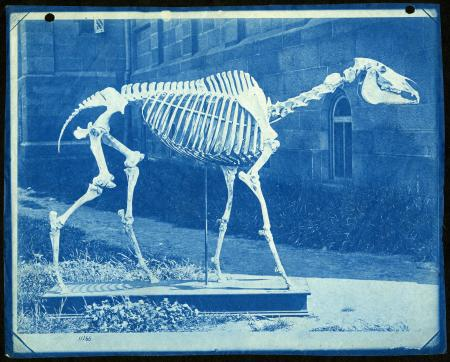 After the death of the famous racehorse Lexington in 1875, his owner donated the horse's bones to th