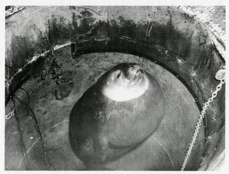 A Weddell seal in the ice hole at Station 61B (August 16, 1961). Note the metal casing which lines t