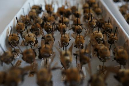 A tray of bumble bees from the National Museum of Natural History's bee collection awaits digitizati