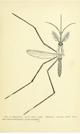 Illustration that takes up the whole page of Megarhinus septentrionalis.