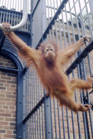 Orangutan at NZP
