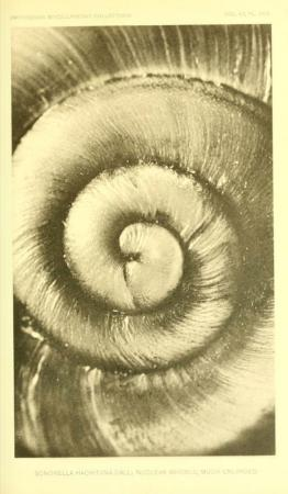 Magnified View of Nuclear Whorl on Shell