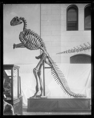 Skeletal Restoration of Hadrosaurus Foulkii
