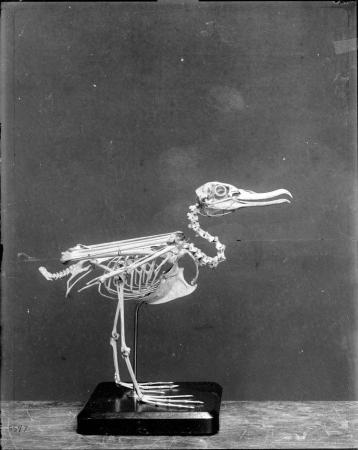 Mounted Bird Skeleton